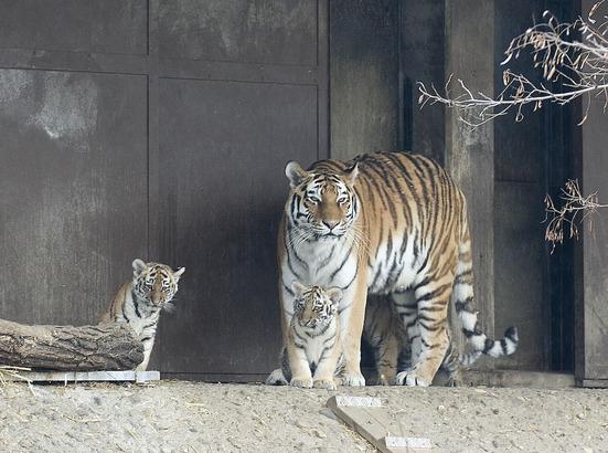 Amur-Tigerbabys im Kölner Zoo