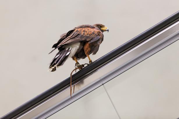 Taubenjagd in der Kölner U-Bahn
