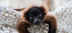 Nachwuchs bei den Lemuren im Kölner Zoo