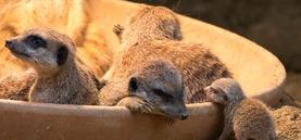 Erdmännchen-Nachwuchs im Kölner Zoo im Mai 2016