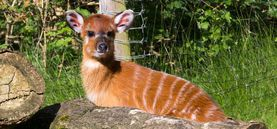Antilopennachwuchs im Kölner Zoo