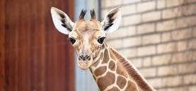 Giraffennachwuchs: das ist Zawadi!