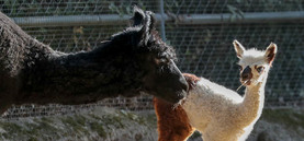 Alpakanachwuchs im Kölner Zoo