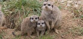 Süßer Erdmännchen-Nachwuchs im Kölner Zoo