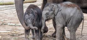 Elefantennachwuchs im Kölner Zoo (20.03.2017)