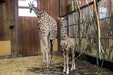 Giraffe-Sala-c-Werner-Scheurer-2492_225.jpg