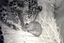 leopardengeburt400.jpg