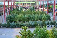 weihnachtsbaeume_225.jpg