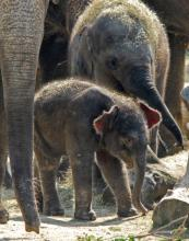 Elefantennachwuchs im Kölner Zoo