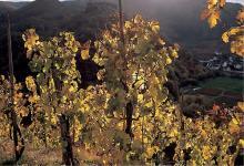 Der Herbst verwandelt die Weinberge in ein farbenfrohes Panorama.
