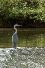 Ein Fischreiher: Wer die Augen offen hält, kann die Geheimnisse der Natur entdecken. (Foto: Fritz Schnell)