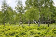 """Naturschutzgebiet """"Struffelt Heide"""": Birkenwald mit Heidelbeersträuchern und Adlerfarn. (Foto: Jochen Rüffer)"""
