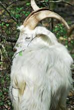 Eine Ziege am Wolfsweg: In der Wahner Heide gibt es seltene Tierarten. (Foto: Michael Bengel)