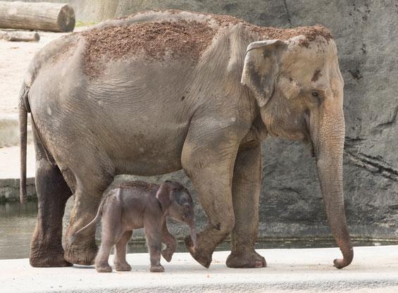 Nachwuchs im Kölner Zoo: Elefantenbaby bekommt den Namen