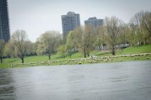 Schafe findet man nicht nur in der Lüneburger Heide, nein, auch mitten in der Kölner City. (Foto: V.Schmidt/ Fotografie Joachim Rieger)