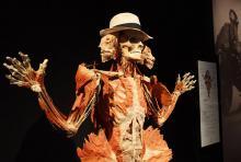 Schön oder ekelig? Plastinat der Körperwelten-Ausstellung (Foto: Körperwelten)