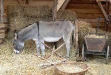 Der Esel lässt es ruhig angehen: Das Grautier gehört zur lebenden Krippe. (Foto: Helmut Löwe)