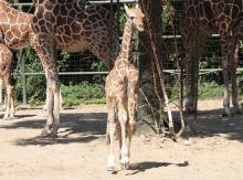 Giraffenbaby Makindu (Foto: Christian Rentrop)