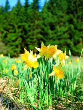 Im Frühling erfreuen sich Wanderer am Anblick Abertausender Narzissen. (Foto: Maria A. Pfeifer)