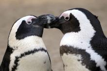 Pinguin-Weibchen lieben mollige Männchen. (Foto: imago/blickwinkel)