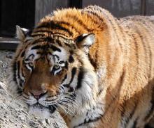 """Amur-Tiger """"Altai"""" tötete eine Tierpflegerin.(Foto: dapd)"""