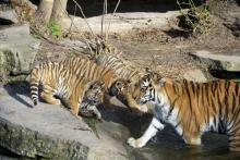 Die Amur-Tiger Babys des Kölners Zoo mit ihrer Mutter. (Foto: Kölner Zoo)