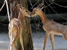 Gazellen geben sich einen Kuss (Foto: ddp)