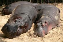 Nilpferde dösen in der Sonne: Mit dem Hippodom haben die Dickhäuter ein schönes, neues Zuhause bekommen. (Foto: Helmut Löwe)